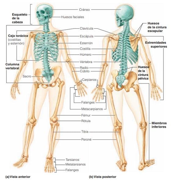 Esqueleto anterior y poosterior.png