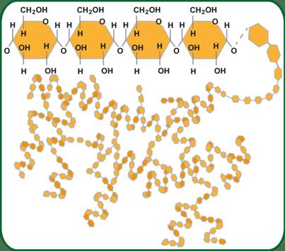 glucogeno2