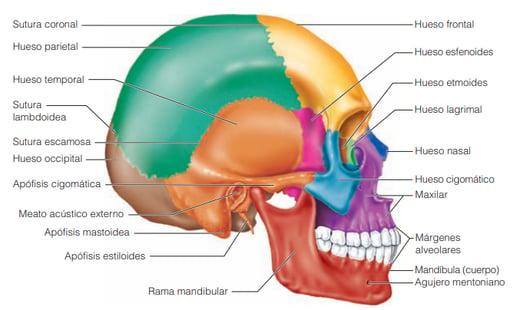 huesos de la cabeza.png